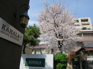 下を歩くと桜のふんわりした香りに包まれます♪