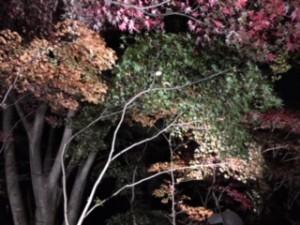 ライトに照らされる紅葉がキレイです