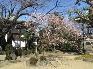 西明寺の桃の花