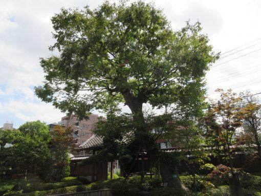 かつてあった通用門の横からそのままの姿で移植した樹齢350年を超える御神木のケヤキ